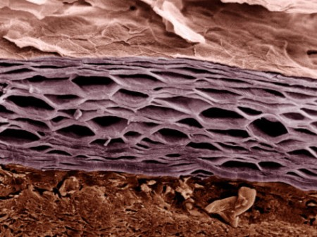 Stratum Corneum Layer of the Epidermis | Photographic Print by Veronika Burmeister