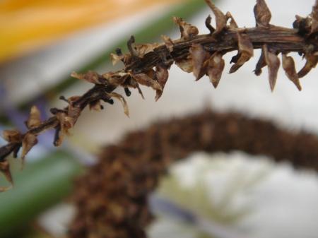 brittle frond of decaying aloe | willemien de villiers