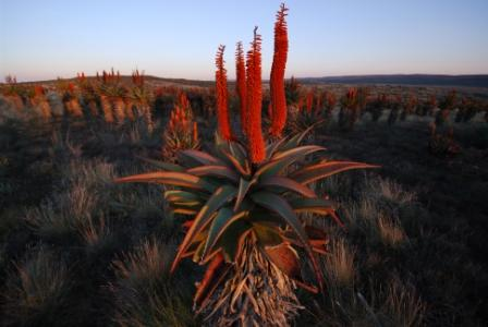 Aloe Ferox, via the Albany Museum